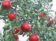 又香又甜的红苹果树图片