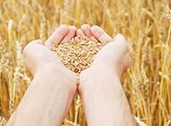 丰收的水稻植物图片素材