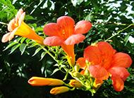 阳光下的盆栽凌霄花图片欣赏