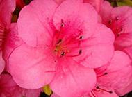 春天里盛放的杜鹃花图片