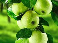 树枝上的青苹果特写图片