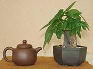盆栽发财树精美图片素材