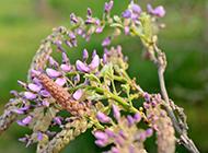 高清紫藤花图片华而不俗