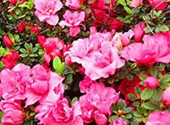 花朵艳丽的杜鹃花丛图片