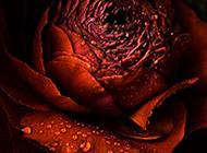 玫瑰花图片大图高清特写