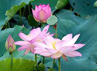 仪态万千的莲花摄影图片