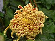 素雅清新的菊花图片欣赏