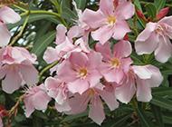 粉花夹竹桃图片优雅烂漫