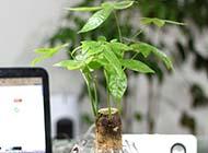 小绿色发财树盆栽图片