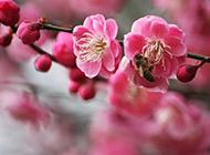 经霜傲雪的梅花图片