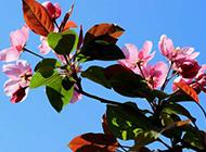 花姿潇洒的海棠花图片赏析