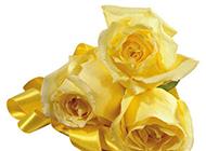 楚楚动人的黄玫瑰高清图片素材