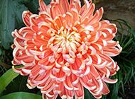 秋季菊花微距特写图片欣赏