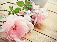 唯美粉色月季花背景图片