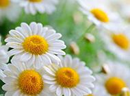 白色菊花图片唯美背景素材欣赏