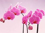 蝴蝶兰花唯美鲜花图片摄影