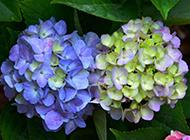梦幻紫色绣球花唯美浪漫花景