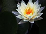 出水芙蓉的莲花摄影图片