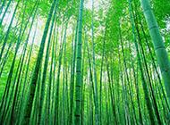大屏幕绿色竹林深处图片赏析