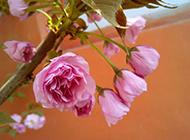 粉色海棠花背景素材
