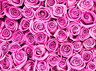 紫玫瑰花图片唯美背景素材推荐