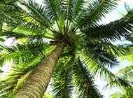 棕榈树高清图片苍翠挺拔