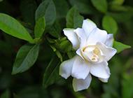 纯白栀子花浪漫花语壁纸
