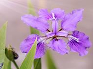 阳光下的紫色鸢尾花图片