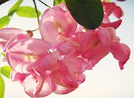 粉色浪漫槐花个性精美高清壁纸