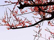 开满枝头的桃花摄影图片