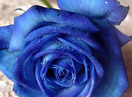 带水珠的蓝色妖姬特写图片
