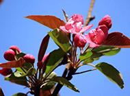 山茶花春天盛放美景图片素材
