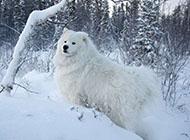 高清大图壁纸萨摩耶犬