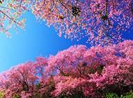 蓝天下的日本樱花图片