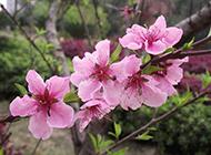 花团锦簇的桃花摄影图片