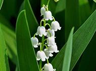 洁白的铃兰花图片
