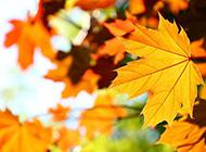 秋天枫叶图片金黄灿烂