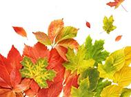 秋天枫叶图片微距特写