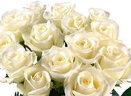 一束白玫瑰唯美图片