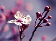 桃花小清新植物花卉桌面壁纸
