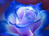 梦幻唯美的蓝色玫瑰花图片