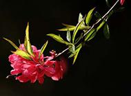红桃花春天植物图片壁纸欣赏