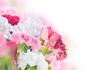 唯美梦幻康乃馨花卉图片
