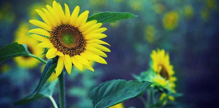 向日葵花图片大全黄色背景素材