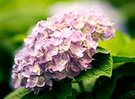 紫色绣球花图片美丽迷人