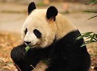 桌面精美壁纸国宝熊猫宝宝