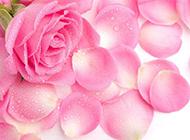 粉色玫瑰清新唯美图片素材