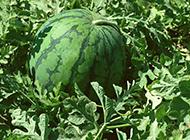 农地里熟透的西瓜图片