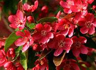 四季海棠花图片微距特写