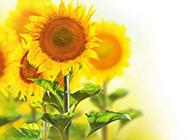 向日葵背景图案风格清新唯美